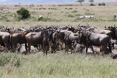goatherd(0.0), cattle-like mammal(1.0), animal(1.0), wildebeest(1.0), mammal(1.0), herd(1.0), grazing(1.0), fauna(1.0), pasture(1.0), grassland(1.0), safari(1.0), wildlife(1.0),