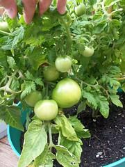 62612_tomato2