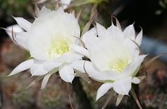 flower, plant, macro photography, flora, close-up, epiphyllum oxypetalum, epiphyllum crenatum, cactus family, petal,