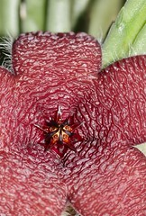 Stapelia olivacea (Apocynaceae: Asclepiadoideae)