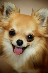[フリー画像素材] 動物 1, 犬・イヌ, チワワ ID:201207101000