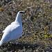 Ptarmigan male, Disko Island (Tim Melling)