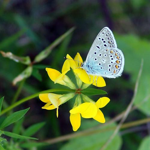 Hauhechel-Bläuling (Polyommatus icarus) auf Gewöhnlichem Hornklee  (Lotus corniculatus)