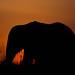 Elephant sunrise by Thomas Grooms