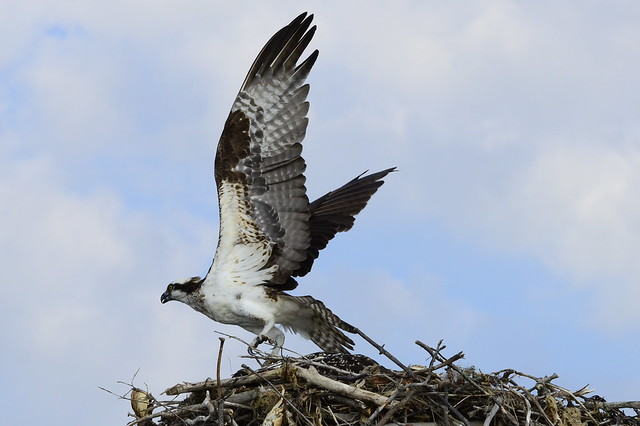 Osprey ospreys fish hawk bird bird of prey carnivore for Fish hawk bird