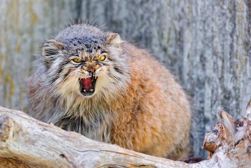 無料写真素材, 動物 , 猫・ネコ, マヌルネコ, 怒る
