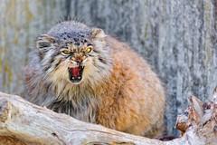 [フリー画像素材] 動物 1, 猫・ネコ, マヌルネコ, 怒る ID:201207181000