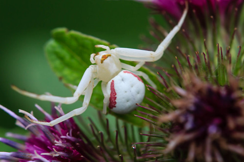 macro nature closeup canon insect spider thistle goldenrod tamron crabspider araneae thomisidae tamron180mm t31