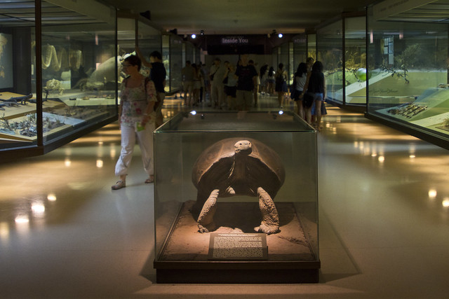 Galapagos Tortoise in vitrina; Natural History Museum, New York (2016)