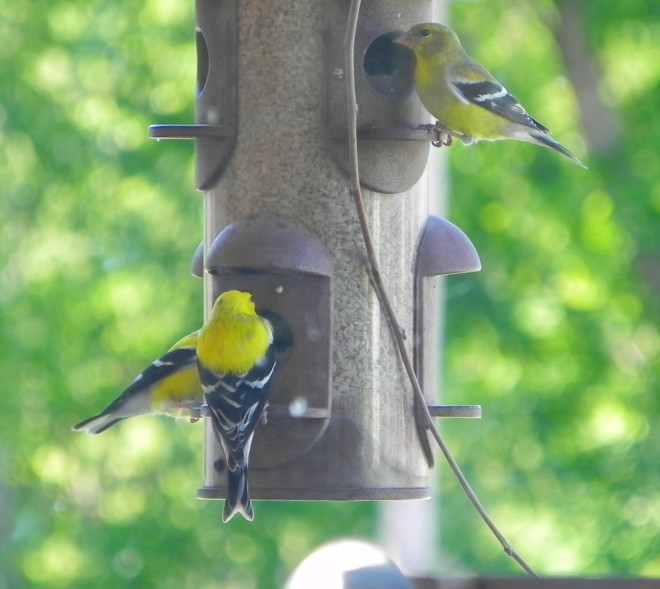 04-16-2012_Goldfinch