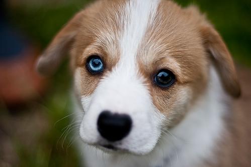 無料写真素材, 動物 , 犬・イヌ, 子犬・小犬, ウェルシュ・コーギー・ペンブローク