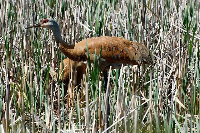 cranes3462