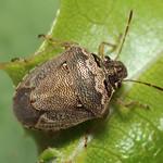 fakó feketefejű-poloska - Eysarcoris ventralis