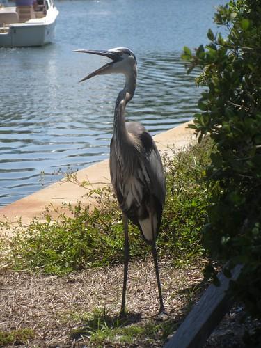blue heron telling me to get lost