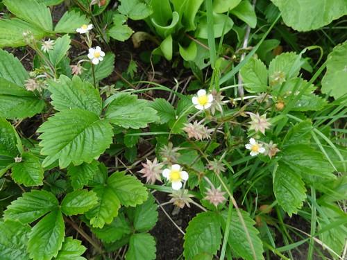 Erdbeere Blüte