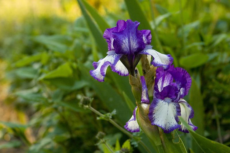 Picotee Iris