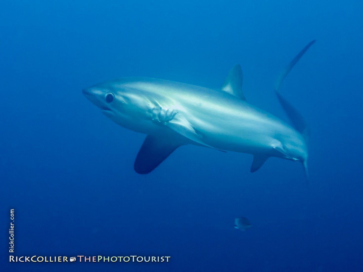 A thresher shark turns to pass the photographer at Monad Shoal, near Malapascua Island, the Philippines