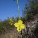 California primrose - Photo (c) randomtruth, some rights reserved (CC BY-NC-SA)