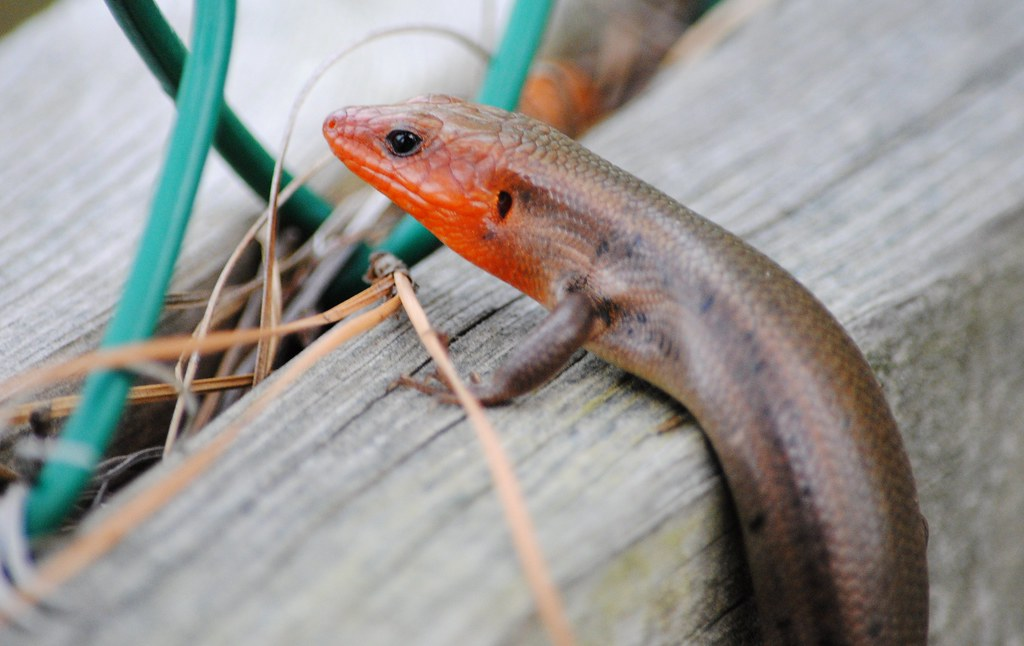 Широколобый сцинк (Broad-headed Skink)