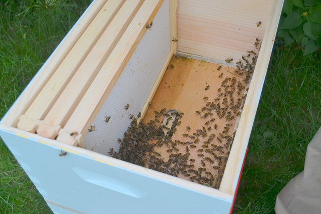 Swarmed bees, newly hived