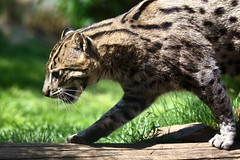 animal, leopard, small to medium-sized cats, mammal, fauna, wild cat, ocelot, whiskers, wildlife,