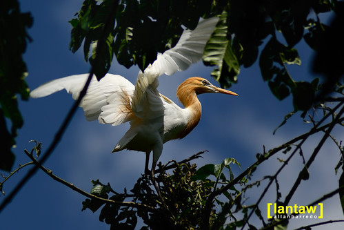 Cattle Egret Spread Wings