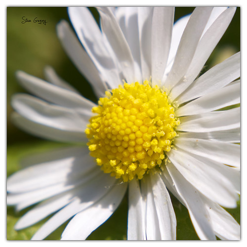 daisy by Steve_Gregory