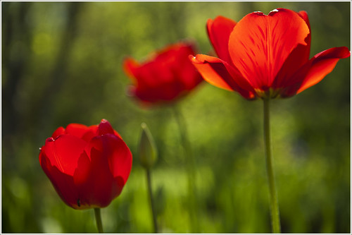 20120520. Red tulips. 9107. by Tiina Gill