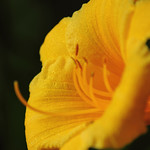 31 mai - 152/366 - Stella de oro