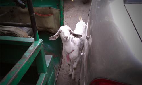 Delhi goat