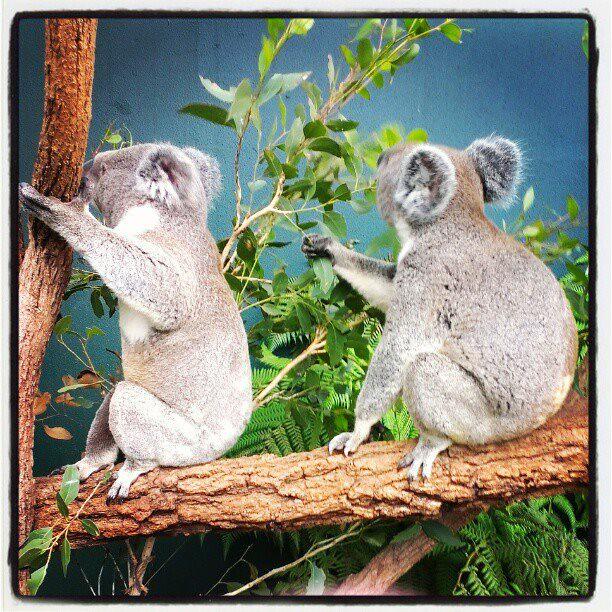 Koala buddies