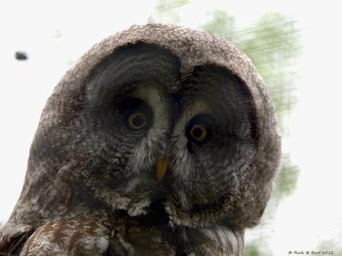 Lapland Owl / Lapland Uil
