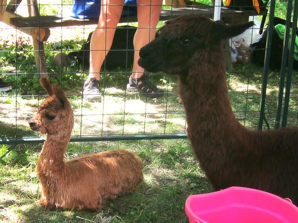 Mama and baby alpaca!!!