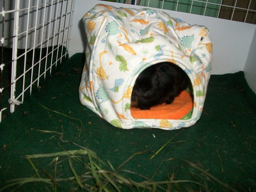 Bubble is enamoured with his new cavy cave!