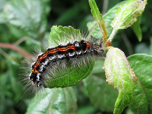Yellow-tail Moth Caterpillar - Euproctis similis