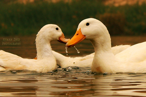 The Lovers Duck