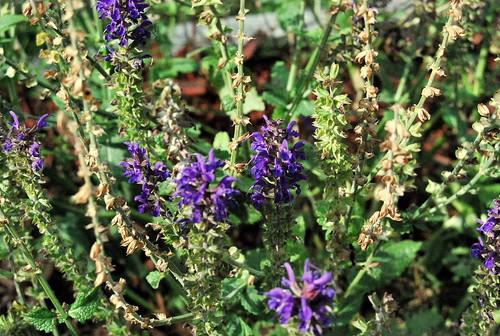 WPIR - lavender