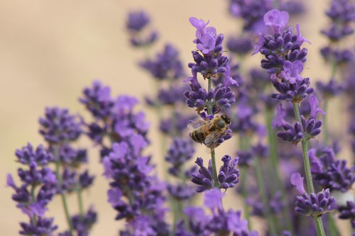 Last of the Lavender