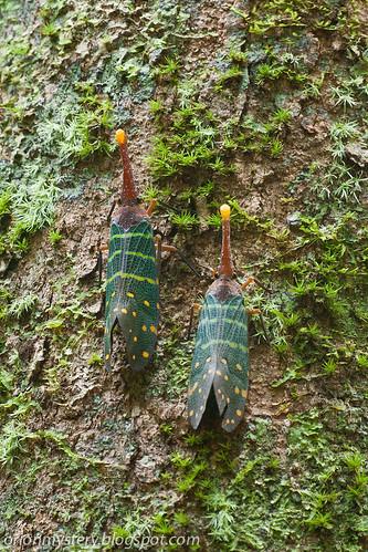 lantern bug of malaysia IMG_7388 copy, Pyrops intricata