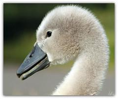 Fuzzy Wuzzy is a Swan