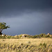 Bent Tree in Storm Clouds & Light