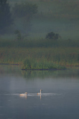 Swans_0192.jpg by Mully410 * Images