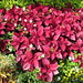 Small photo of Coleus (Solenostemon)