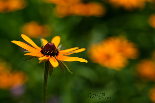Rudbeckia, Black Eyed Susan a beautiful wildflower
