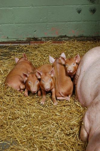 Piglets Jul 12 3