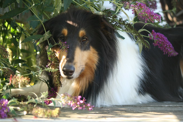 Butterfly Bush collie