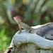 Calotes versicolor, Garden Lizard (David Allison)