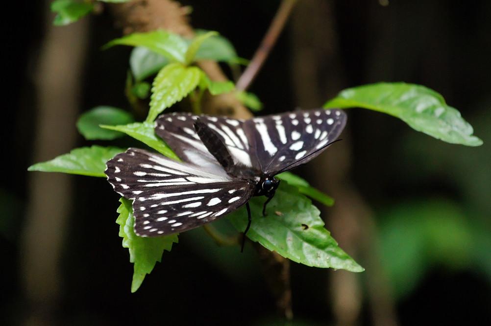 04-白條班蔭蝶