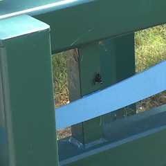 Daring Jumping Spider - he kept scurrying around to the other side of this rail when I'd try to get closer