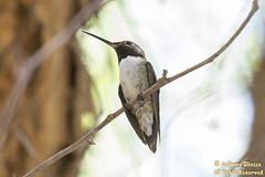 Broad-tailed Hummingbird (8677) (Rare)